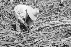 sugarcanebw